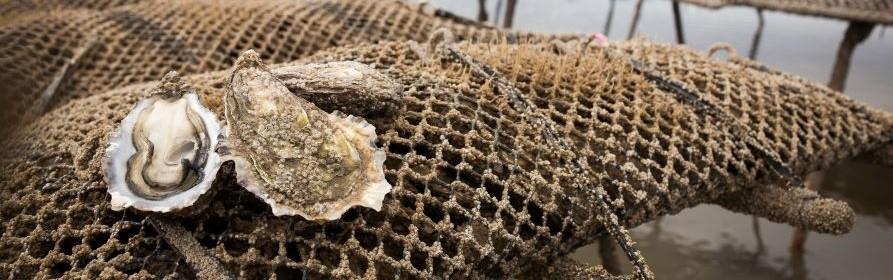 Huîtres Fines et Spéciales de claire